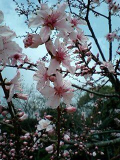 桜は続くよどこまでも♪桜之宮公園