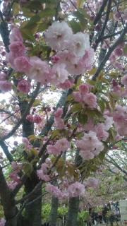 まずは大阪造幣局桜の通り抜け