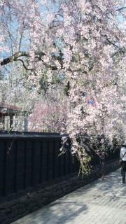 秋田の桜巡り