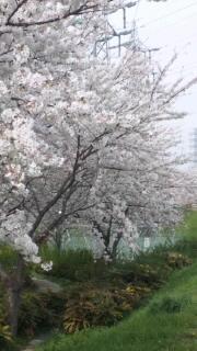 桜満開&黒&茶